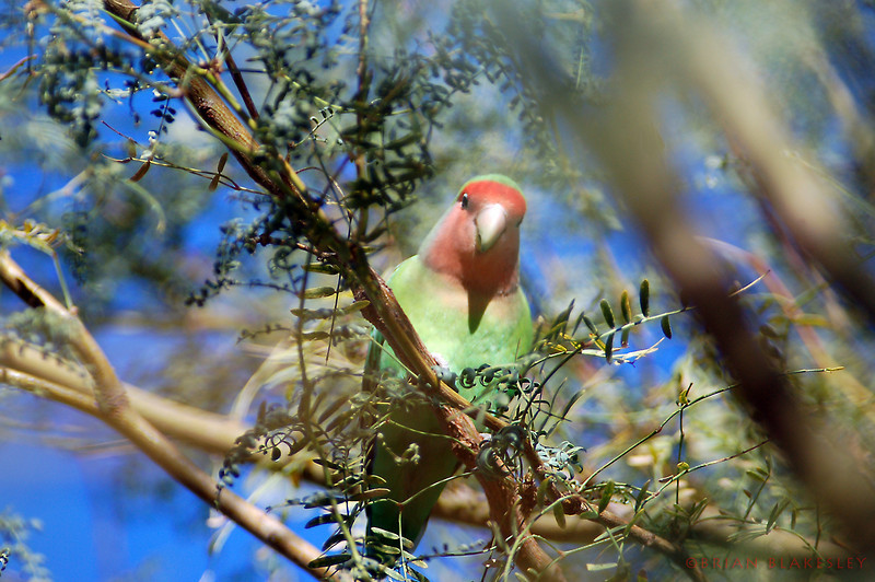 Peach-Faced Lovebird.   He was very curious and spent a good 5 minutes posing for me as I stood under the tree he was perched in at the GRH  Taken 2009.11.21, Gilbert, AZ, US