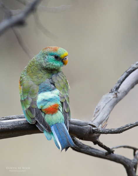 Mulga Parrot, imm, Hattah Kulkyne NP, VIC, Aus, Oct 2011-1.jpg
