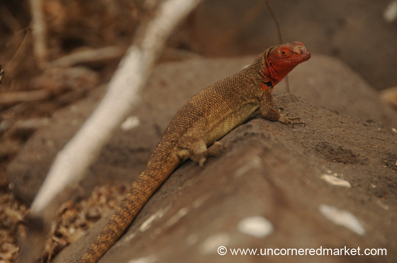 Female Lava Lizard - Galapagos Islands