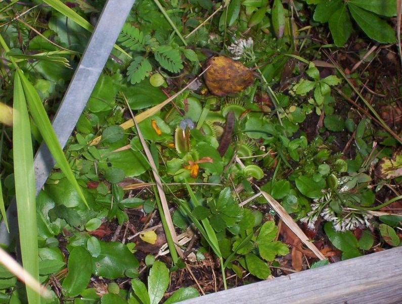 826243890-Dionaea-muscipula-in-bog.jpg