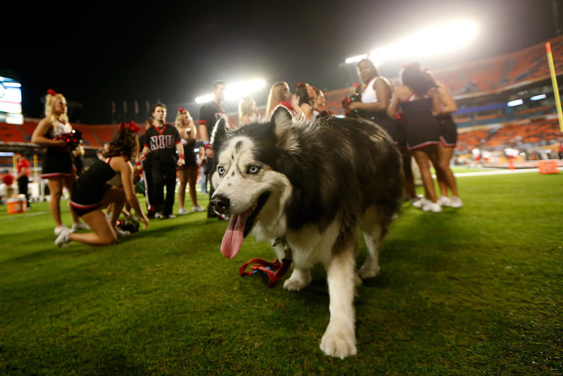 . A mascot for the Northern Illinois Huskies is seen on the field against the Florida State Seminoles during the Discover Orange Bowl at Sun Life Stadium on January 1, 2013 in Miami Gardens, Florida.  (Photo by Chris Trotman/Getty Images)