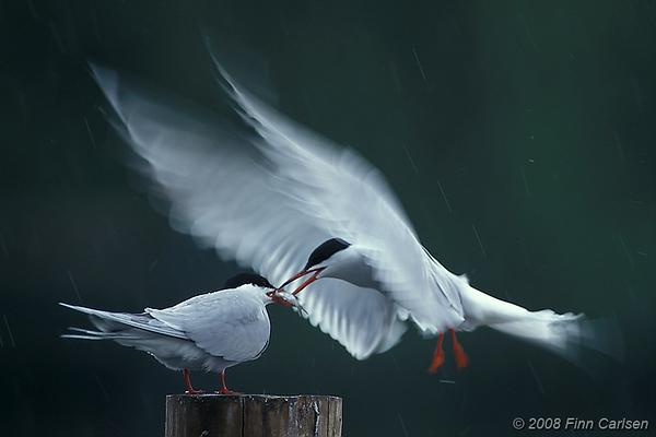 Fjordterne (Sterna hirundo) fodrer mage med fisk i regnvejr, Lyngby Sø