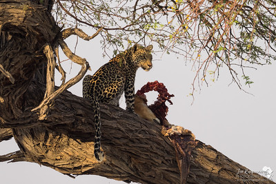 Leopard with it's prize