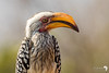 Southern Yellow-billed Hornbill Portrait