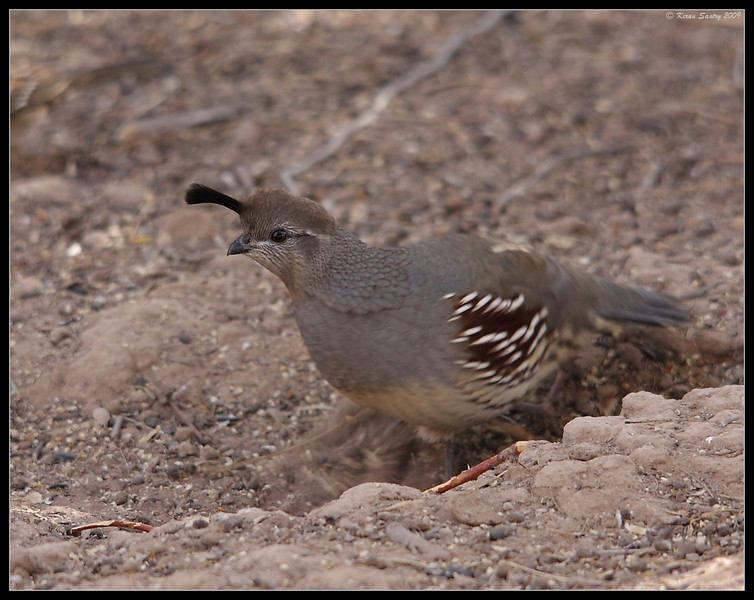 Gambel's Quail Female, Salton Sea, Imperial County, California, November 2009