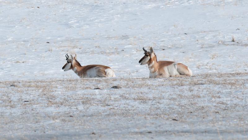 Antelope Surprise?