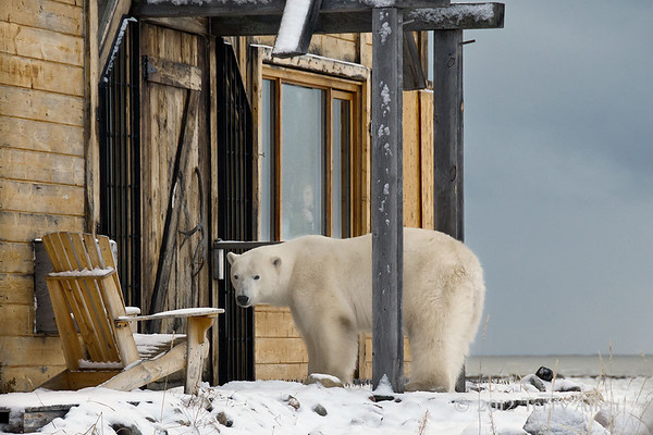 Polar Bears at Seal River Lodge