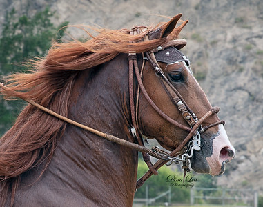 Peruan Paso Horse Competition - 2-9-2020