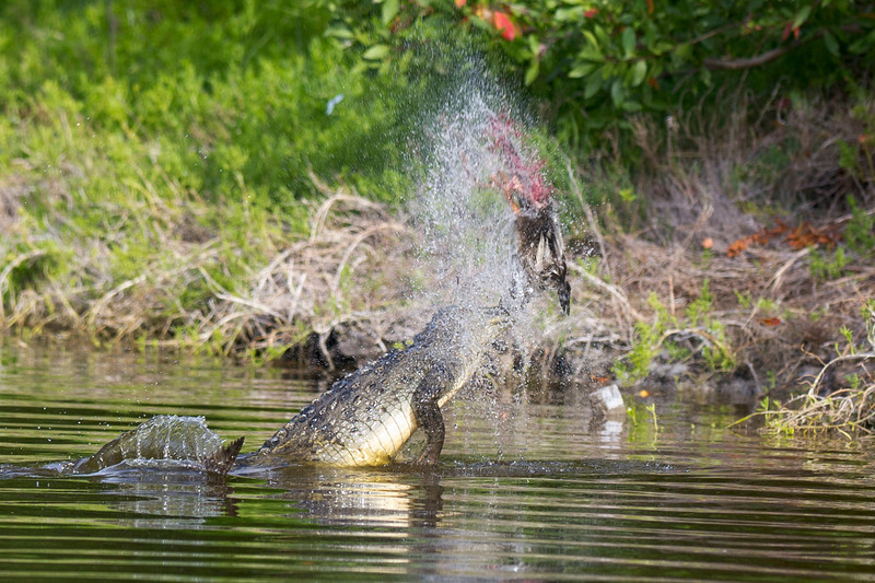"The Crocodile ""Spin Cycle"" Eco Pond, Flamingo, Everglades National Park Florida © 2012"