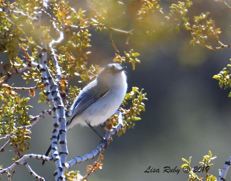 Blue-gray Gnatcatcher - 02/27/2019 - Split Rock Trail, Joshua Tree Natl Park