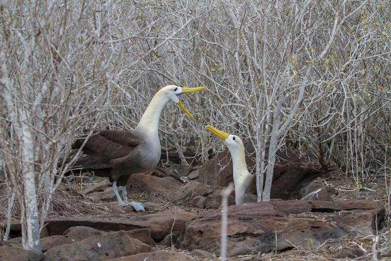Albatross Pair 3 on Floreana.jpg