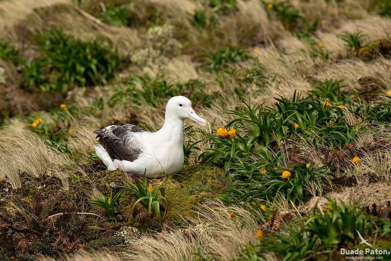 974-SouthernRoyalAlbatross-CampbellIsland,NZ-12-12-13-4.jpg