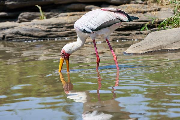 Yellow Billed Stork Mara Kenya 2018