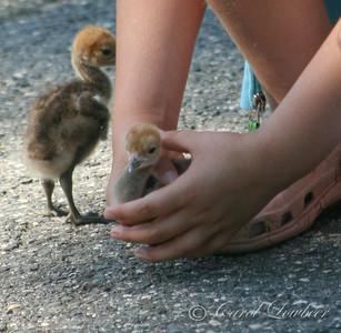 Demoiselle Crane Chicks