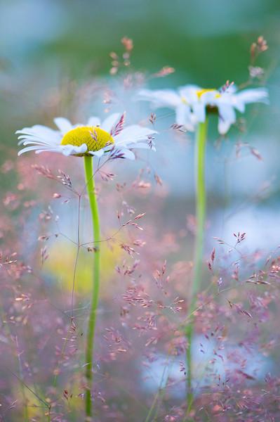 two-daisies.jpg