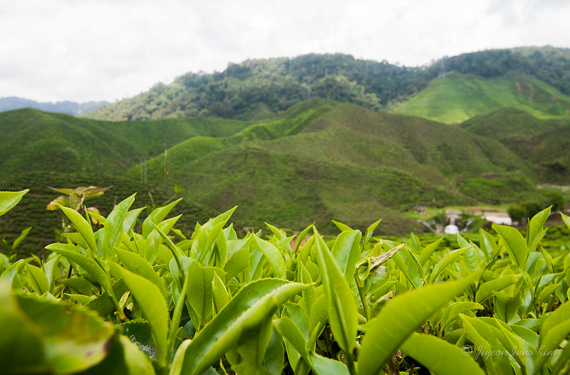 Tea leaves at Cameron Valley tea plantation field