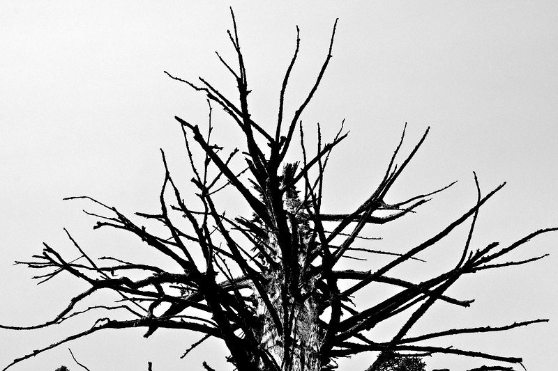 Old Tree in the Merced Grove
