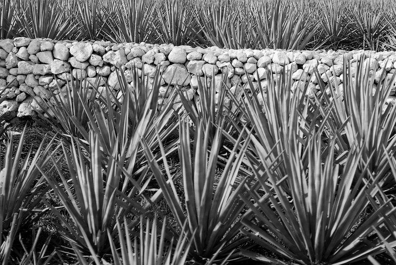 leaving fields of agave