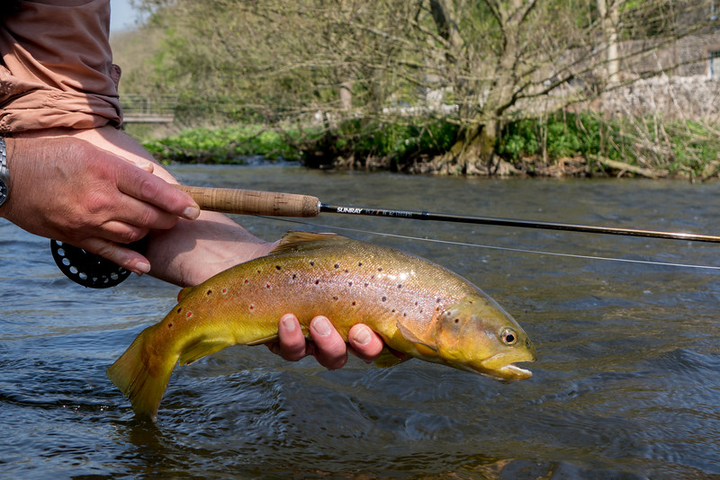 Wild Wye brown trout