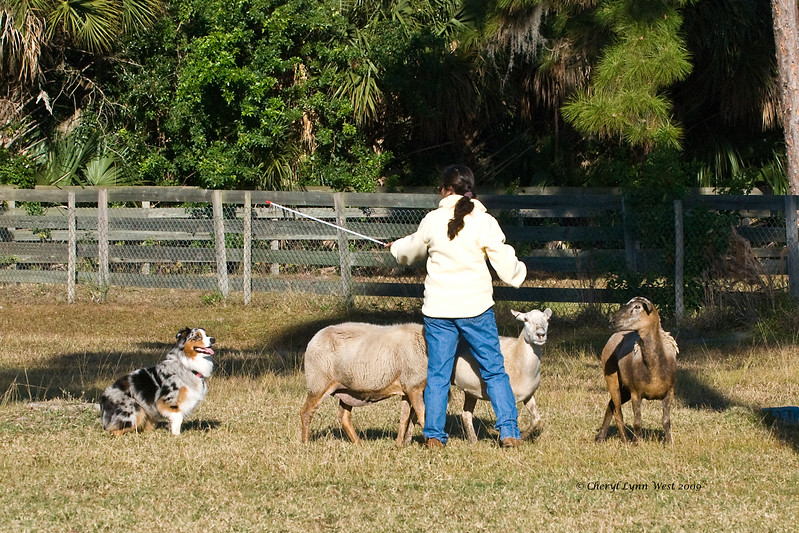 #17 - Rainbow's Princess Tsula, an Australian Shepherd, qualified on the JH course.  She is owned by Jacqueline Heinze.