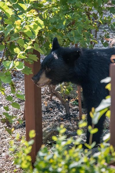 Bear and deer in Yard (80 of 114).jpg