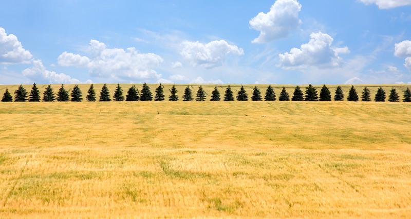 Pine tree line.jpg