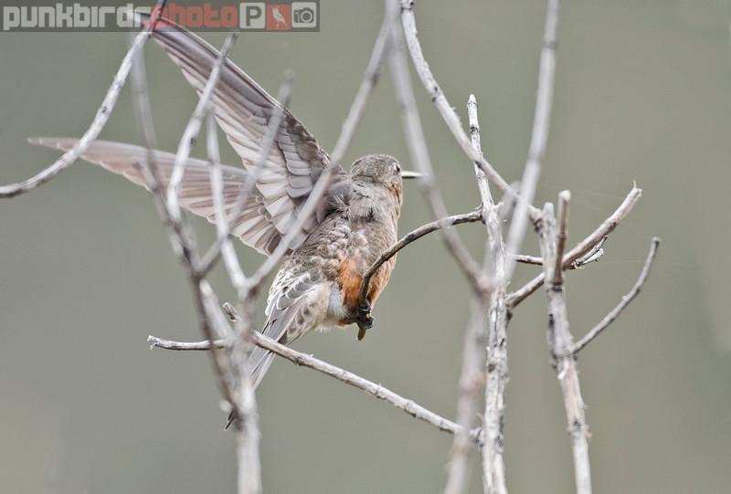 Giant Hummingbird (Patagona gigas)