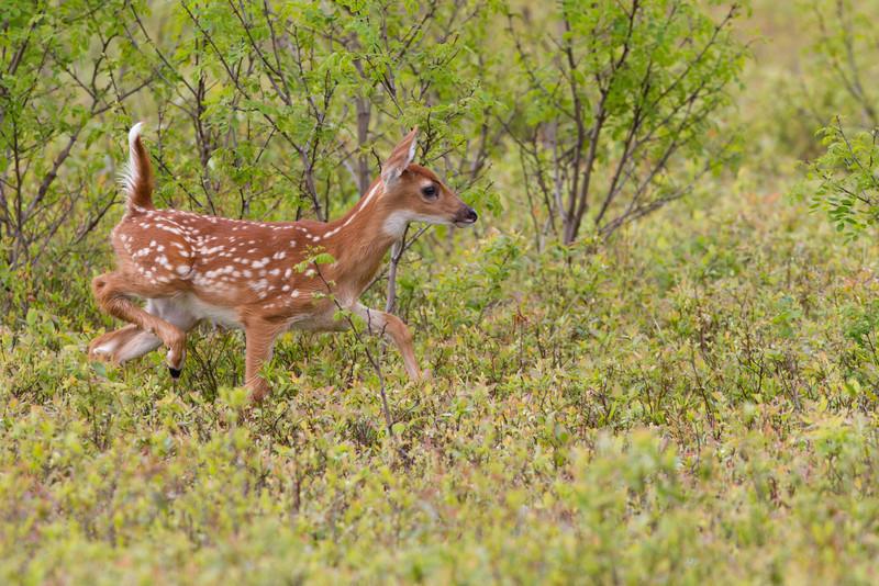 Deer at Big Meadow in Shenandoah