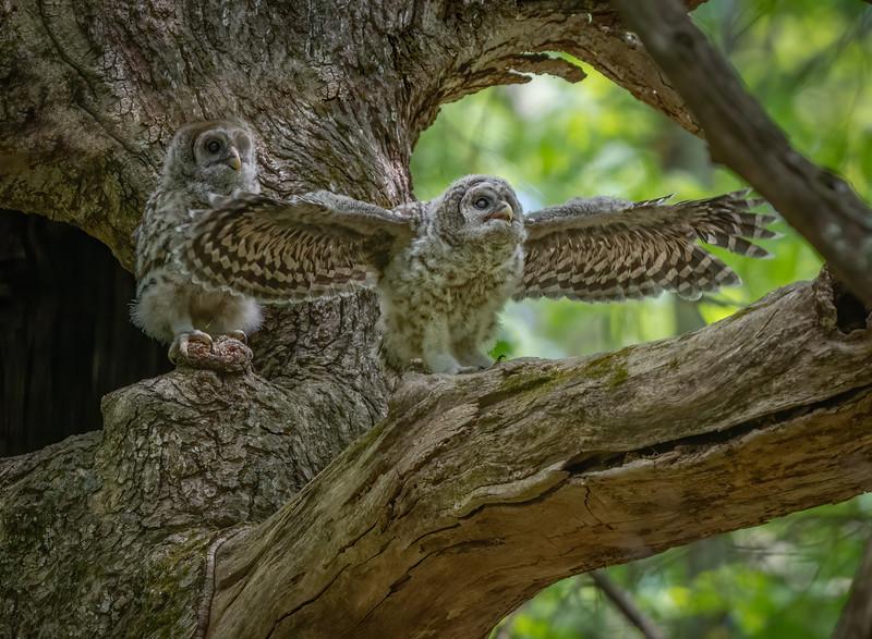 _6005667-Edit Barred Owl big day first flight.jpg