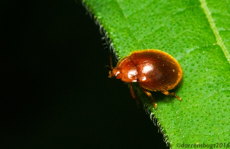 Handsome Fungus Beetle (Endomychidae: Stenotarsus sp.), most likely not yet described. (Monteverde, Costa Rica)