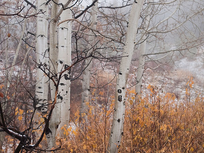Aspens in the Mist