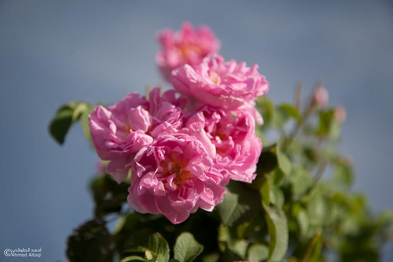 Roses Water (68)-Aljabal Alakhdhar-Oman.jpg