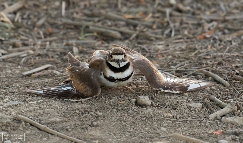 Killdeer engaged in its distraction display