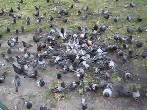 pigeons.avi