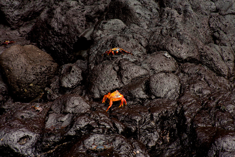 Two Sally Light Foot Crabs on the Rocks : Journey into Genovesa Island in the Galapagos Archipelago