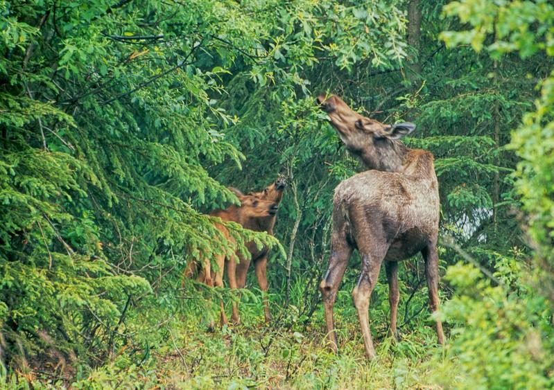 Moose cow and calf A-Anchorage Alaska-037 scan-039.jpg