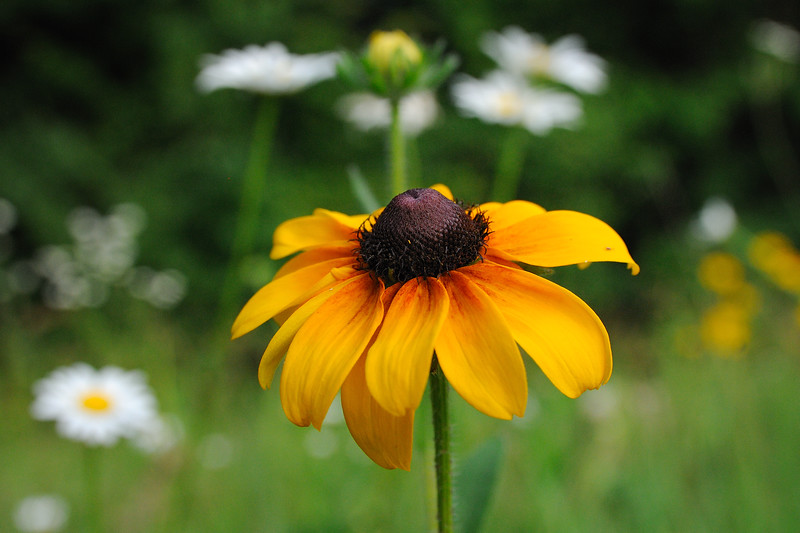 ... and the black-eyed susans.