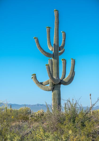 I-11 Tall Saguaro w Multiple Arms #1