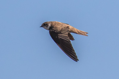 Swallows - Svaler