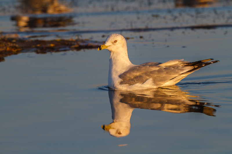Ring-billed Gull, Merritt Island NWR