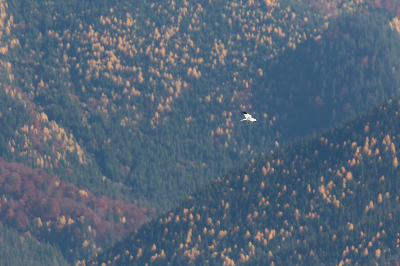 carpathian mountains, bunea lodge, hen harrier