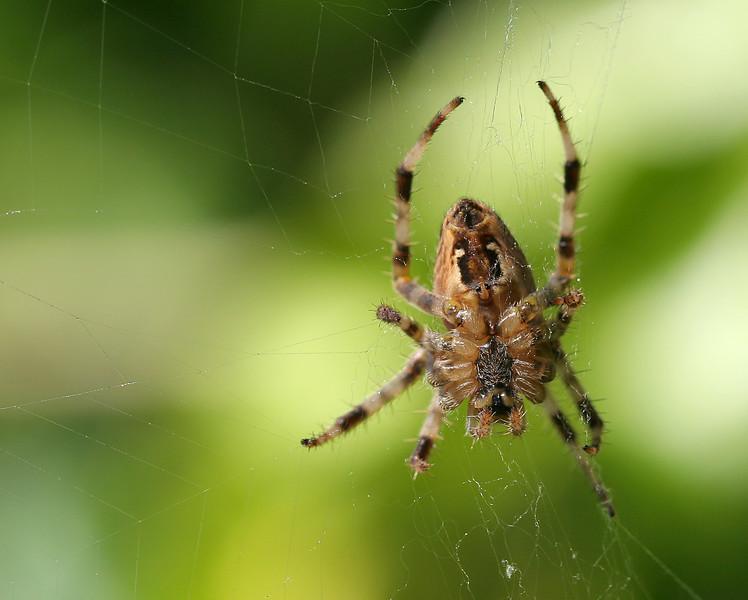 1646 Spider.jpg