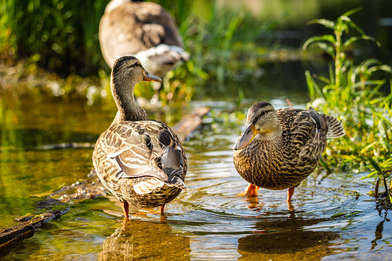 ducks wading in a puddle on a trail after a rain storm