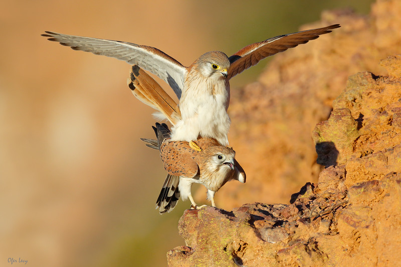 Nankeen Kestrel mating new MASTER.jpg