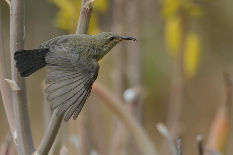 Palestine Sunbird