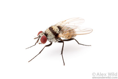 Calyptrate flies