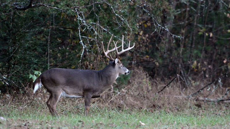 whitetail_buck_07.mov