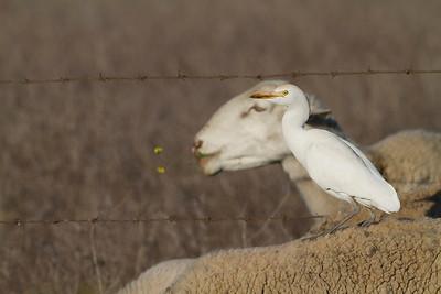 Cattle egret (Garcilla bueyera)