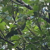2017_ mealy parrot_Gamboa Pipeline Rd_Panama_AQ3T4702