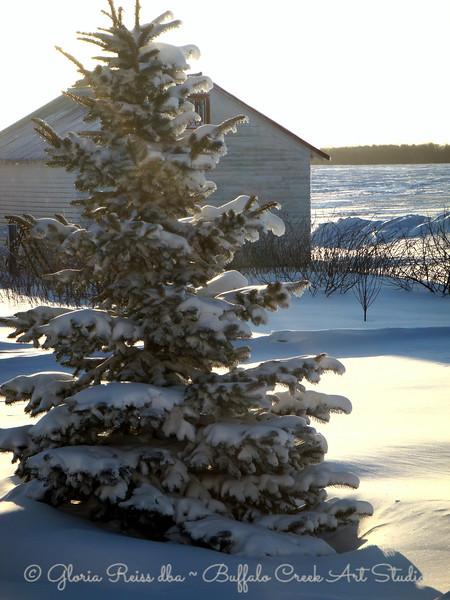 heavy snow on the pine trees